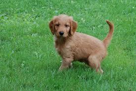 Comfort Golden Retriever Breeders Goldendoodle Puppies For Sale