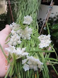 hoya wax plant porcelain flower hoya linearis flowers