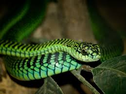 bite from the past new study on boomslang venom provides insights
