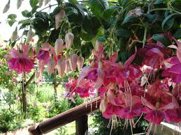 flora sky apk free free images fuchsia flower flowering plant flora pink