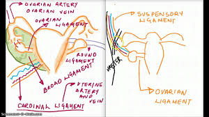 Anatomy Of Reproductive System Female Ligaments Of The Reproductive System Youtube