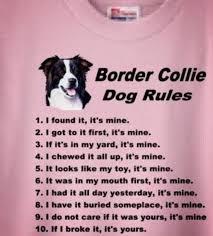 Border Collie Meme - 688 best border collie images on pinterest baby border collies