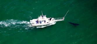 tracking great white sharks off cape cod by land by air by sea