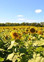 Grinter Farms Where I Found A Kansas Sunflower Field Heaven And How You Can Too