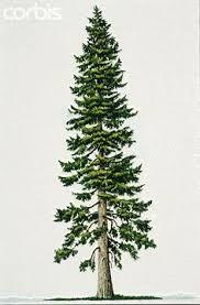 best 25 fir tree ideas on tree tattoos