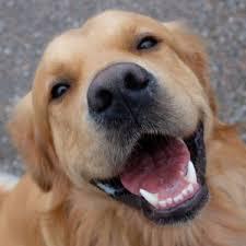 australian shepherd or golden retriever 5 smartest dog breeds chosen by veterinary professionals