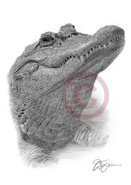 pencil drawing of an alligator by artist gary tymon