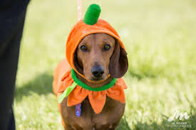 wellington dachshund walking group halloween u2014 jo moore