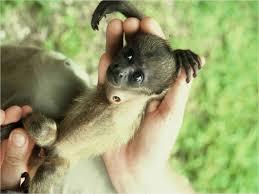 census reveals 1 200 howler monkeys living on barro colorado