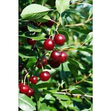 fruit trees plants edible garden the home depot