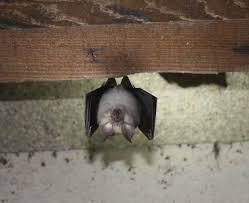 how to look for signs of bats