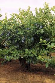 growing blueberries in your home garden osu extension catalog