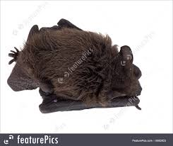 small bat picture of small brown black bat on white