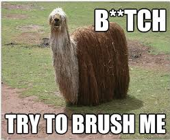 Alpaca Memes - funny hairy dog llama alpaca bitch try brush me pics