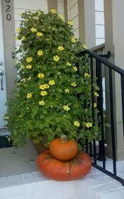 star jasmine on trellis 24 best vines for containers climbing plants for pots balcony
