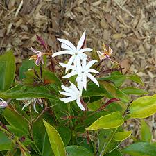 Which Jasmine Plant Is Most Fragrant - jasmine