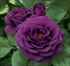 Different Color Roses The Different Colors Of Roses Gardening Forums