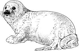 seal coloring page sketch of seal coloring page coloring sky