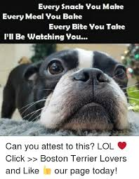 Boston Terrier Meme - every snack you make every meal you bake every bite vou take i ll be