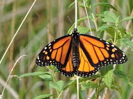 monarch butterfly danaus plexippus natureworks