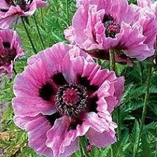 poppy poppy mix heirloom large flowers scarlet to pink