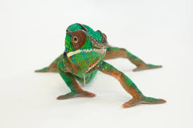 here u0027s what happens when a chameleon looks in a mirror