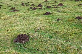 How To Get Rid Of Moles In The Backyard by How To Get Rid Of Moles Prevent Mole Damage Atlanta Mole Control