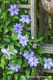 best 25 clematis care ideas on pinterest climbing flowering