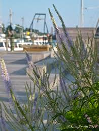 oz native plants check out the native wildflowers at the harborwalk tonight before