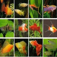 live ornamental freshwater livebearer fish global sources