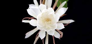 blooming cereus visiting the of the