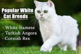 these facts about white cat breeds are quite fur tastic