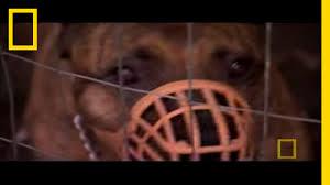 surrendering territory dog whisperer youtube