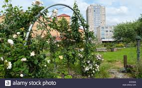 a metal arch for climbing roses community garden on broadwater