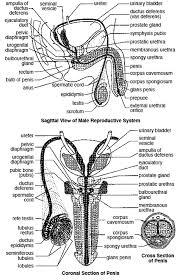 The Anatomy Of The Male Reproductive System The Male Reproductive System