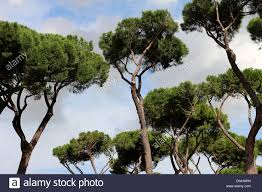 pine trees in the city of rome italy stock photo royalty free