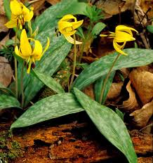 native woodland plants kentucky native plant and wildlife plant of the week trout lilies
