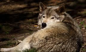 West Virginia wildlife images File grey wolf wildlife 17 west virginia forestwander jpg jpg