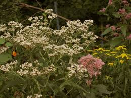 plants native to massachusetts massachusetts new england habitat gardening blog