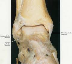 Anterior Distal Tibiofibular Ligament Muscle Discussions