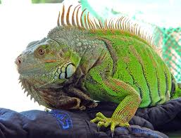 imágenes de iguanas verdes iguana iguana wikipedia la enciclopedia libre
