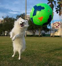 american eskimo dog male cute dog pictures for dog lovers u2013 cute puppies now
