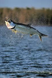 fish wall mounts best 25 tarpon fish ideas on pinterest wooden fish largemouth