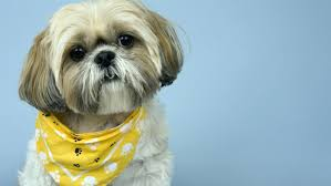 pictures of shih tzu haircuts what are some shih tzu grooming styles reference com
