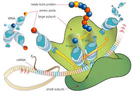 what is the role of mrna in protein synthesis protein synthesis