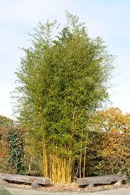 bamboo rhs gardening