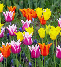 Images Of Tulip Flowers - flower images