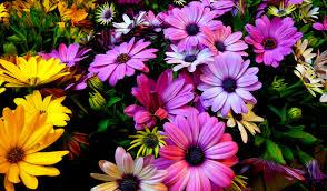 image of spring flowers wallpaper spring flowers daisy flowers purple yellow 4k