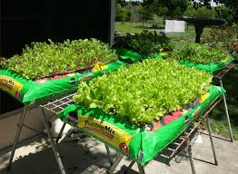Miracle Grow Patio by Growing Lettuce In A Soil Bag Use Organic Soil This Will Be Done