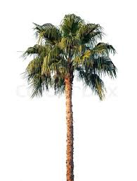 bright palm tree isolated on white background stock photo